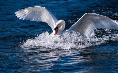 белый лебедь, озеро, красивая птица, лебедь, птицы