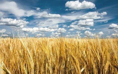 Україна, поле, пшениця, небо, прапор України, Украина, пшеница, флаг Украины
