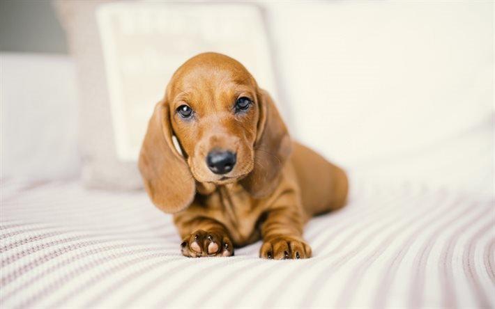 такса, собака, щенок таксы, милые животные, маленькая собака